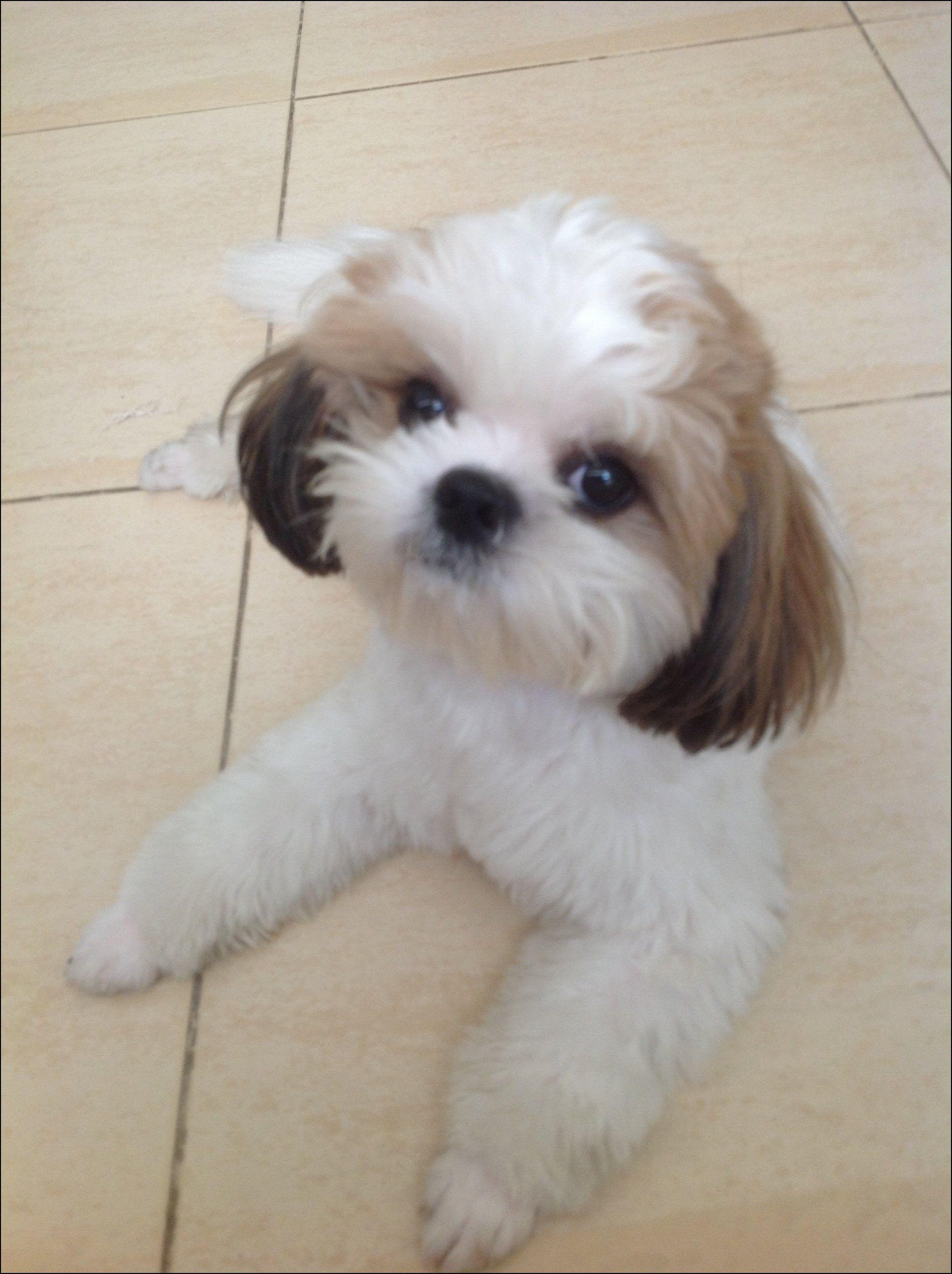 Shih Tzu Puppies Haircuts Hairstyles Ideas Pinterest Shih Tzu