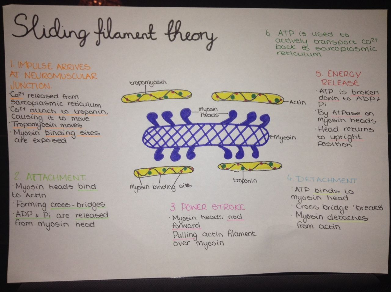 Thefatstudent 9 32pm Sliding Filament Theory Of Muscle Contraction Poster To Go On My