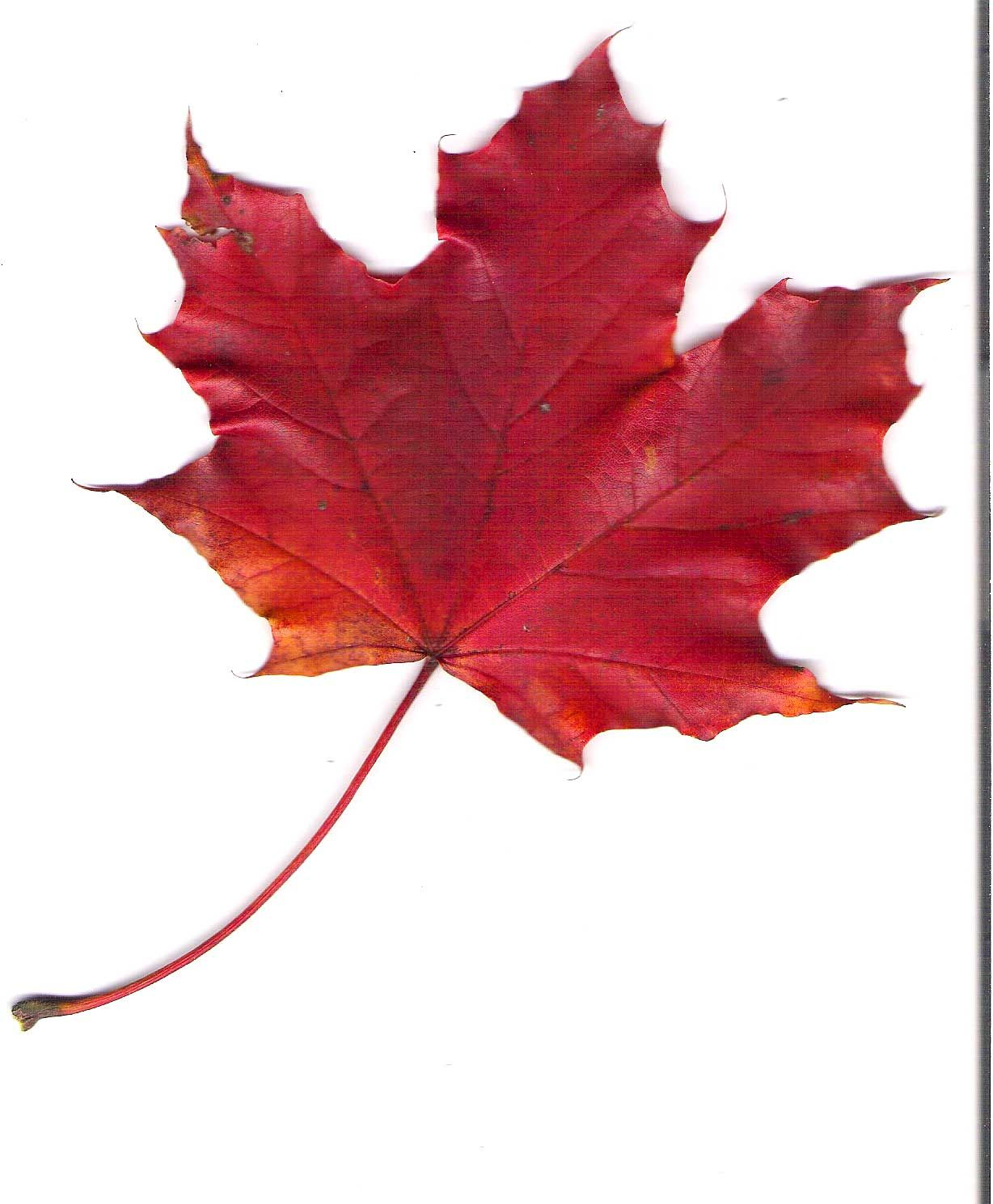 red maple leaf on pin by campbell w on red shades of red colors of fire red maple leaf logo pinterest