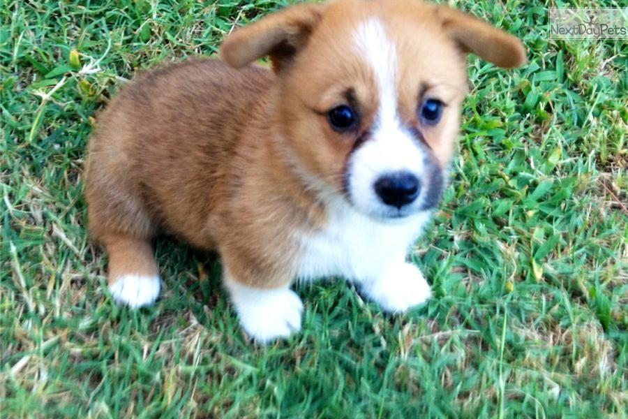Little Girl Corgi Puppy For Sale Near Tulsa Oklahoma Ac21c1f7 3d31 Corgi Puppies For Sale Corgi Welsh Corgi Puppies