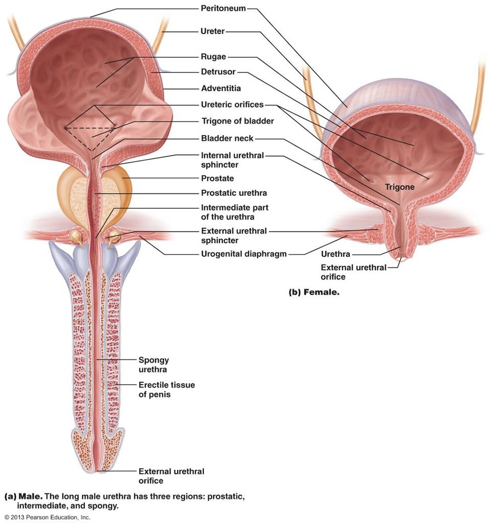 The urinary system nursing pinterest medicine the urinary system pooptronica Images