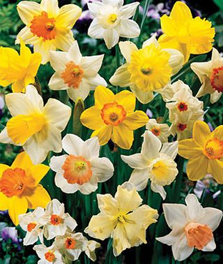 Daffodils mixedny colors and flower forms are included in the uk gardens pack of 200 mixed daffodil spring flowering garden bulbs bulk bag mightylinksfo