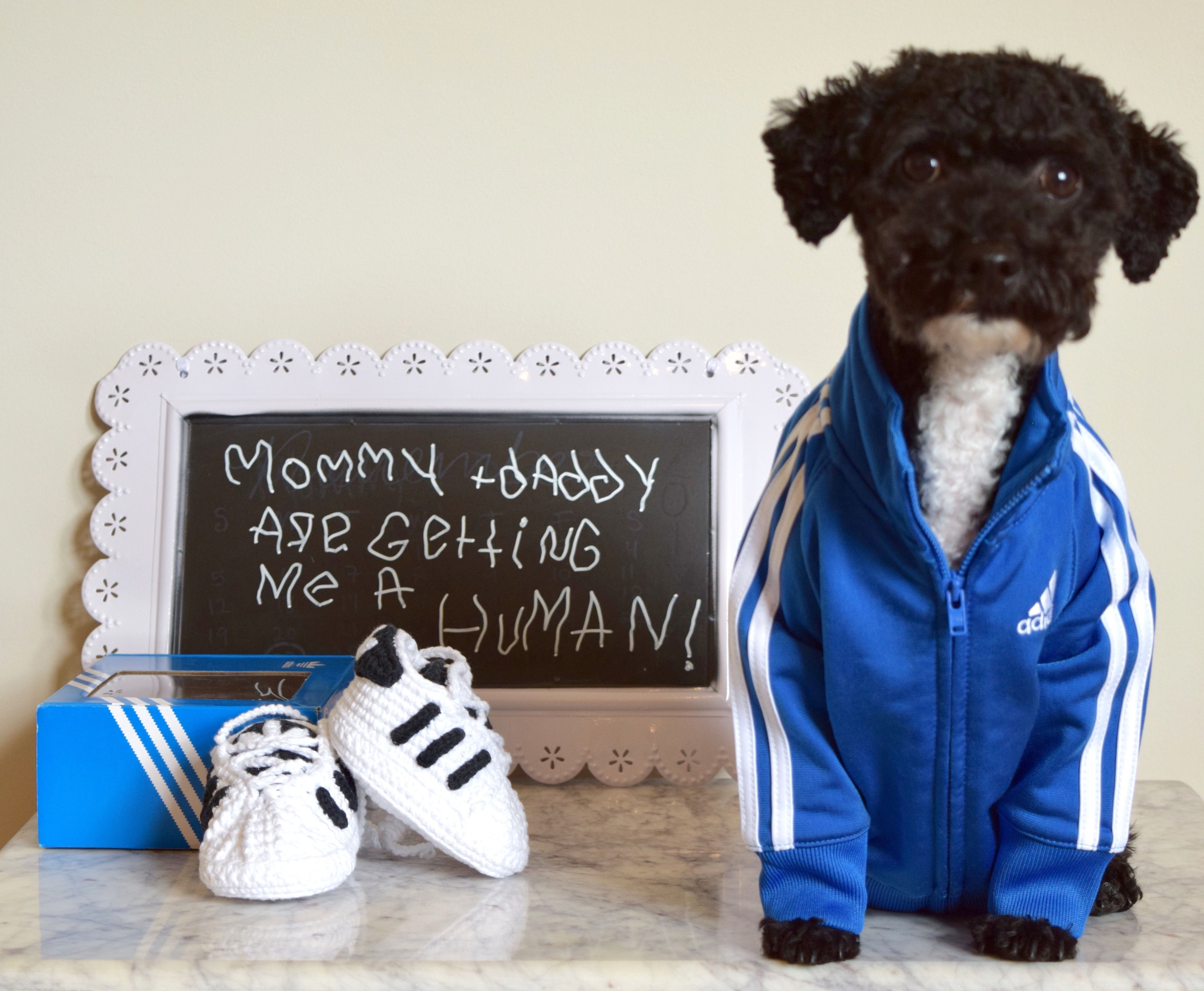 Adidas, Toy Poodle Baby Announcement