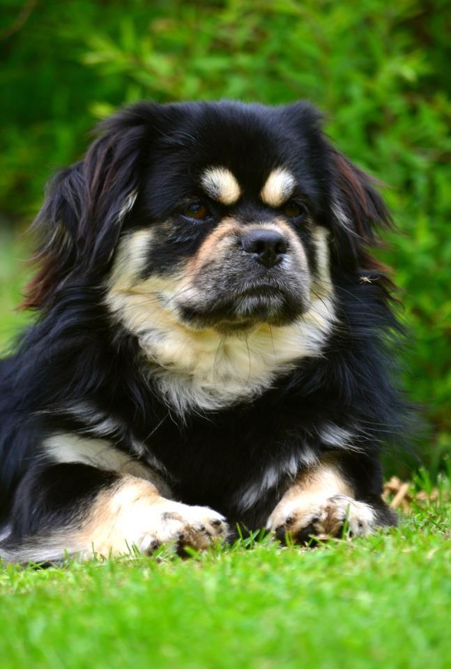 Kan Sing S Chemcem Tibetan Spaniel Cute Animals Big Dogs