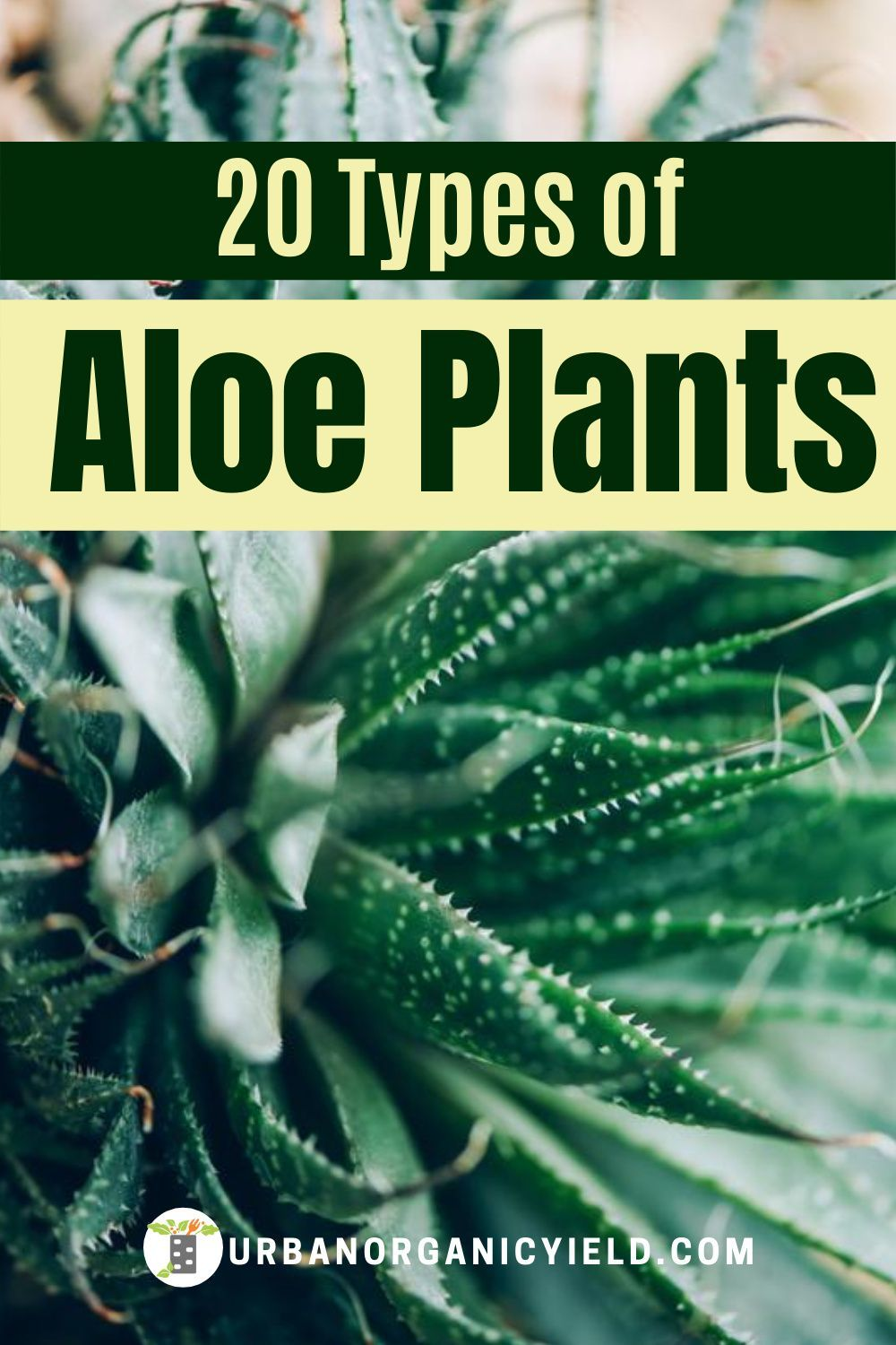 Different Types of Aloe Plants and How to Care for Them in ...