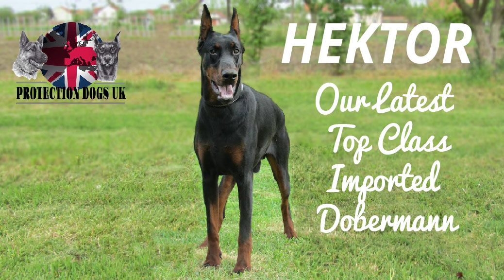 Our Experience At Protection Dogs Uk Is That The Doberman Makes An