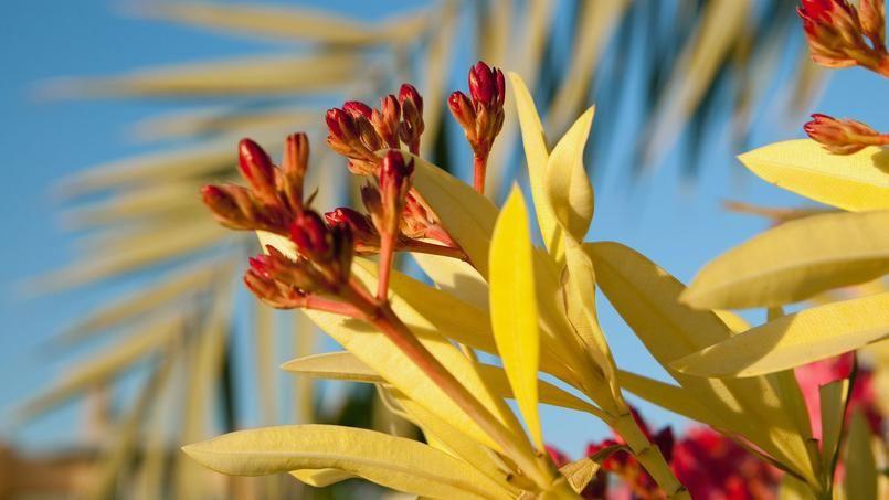 Le jaunissement des feuilles du laurier rose pr c de - Feuilles jaunes laurier rose ...