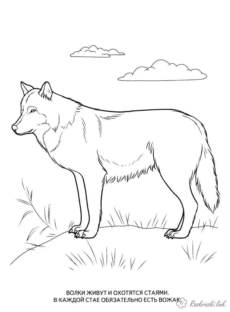 раскраски, для детей. волки, хищники, животные Раскраски