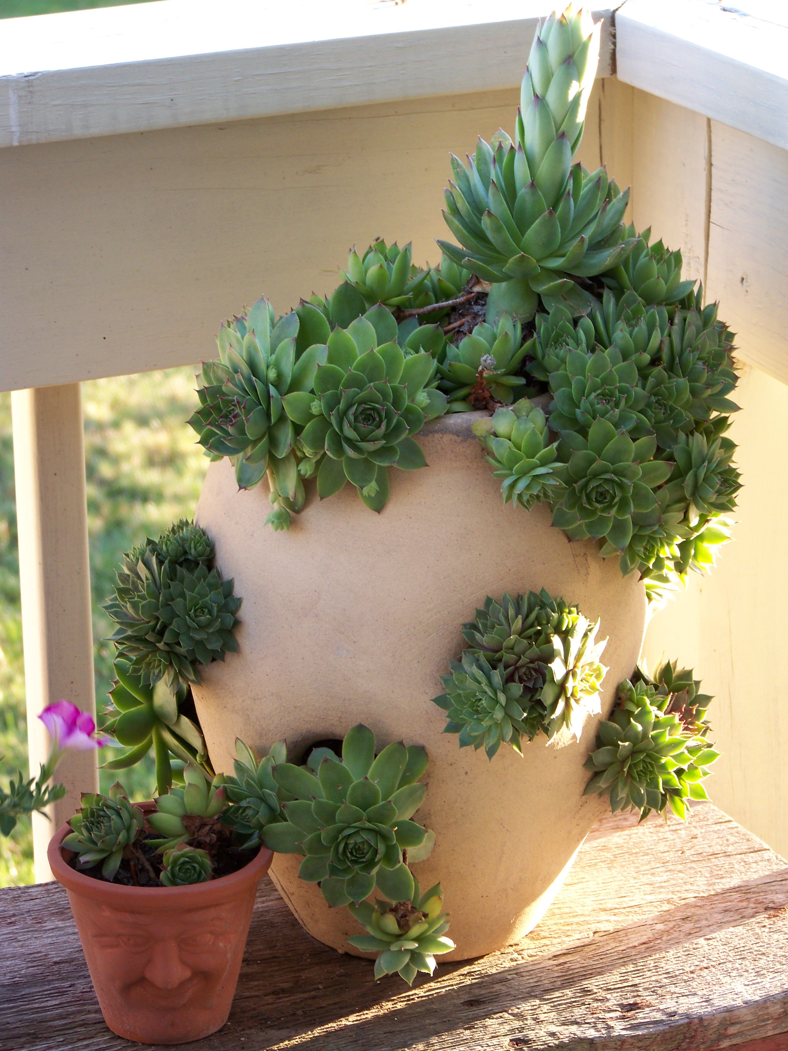 Planting Hens And Chicks In Strawberry Pots Is A Great