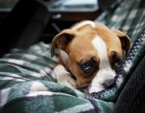 What To Do When Your Puppy Gets Diarrhea Cute Boxer Puppies