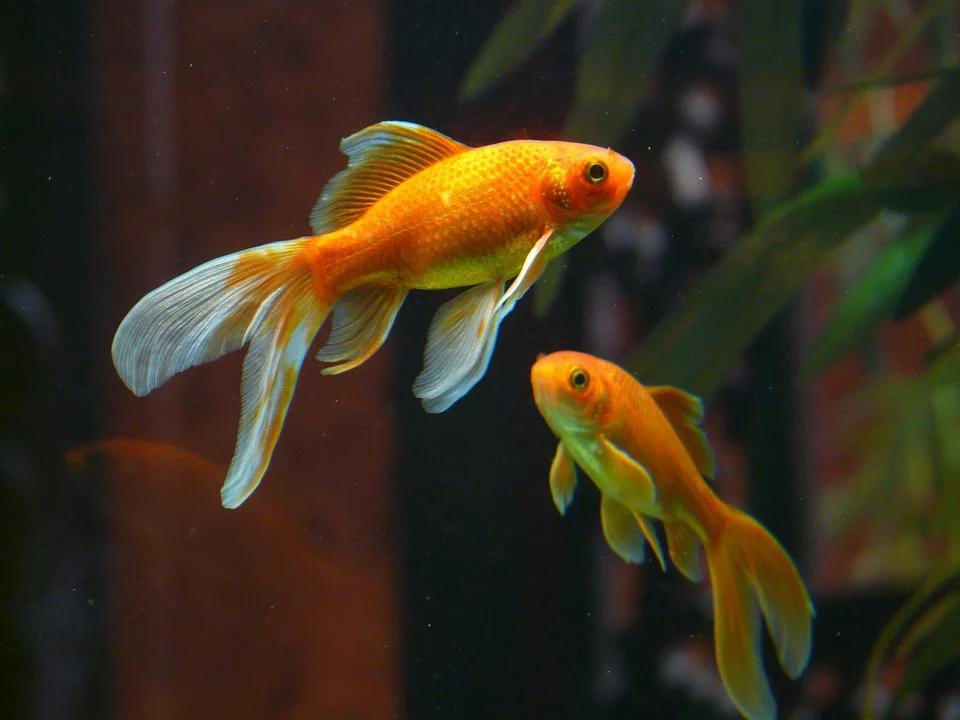 Image Gratuite Sur Pixabay Veiltail Poisson Poisson Rouge En 2020 Poisson Rouge Aquarium Petit Poisson Rouge