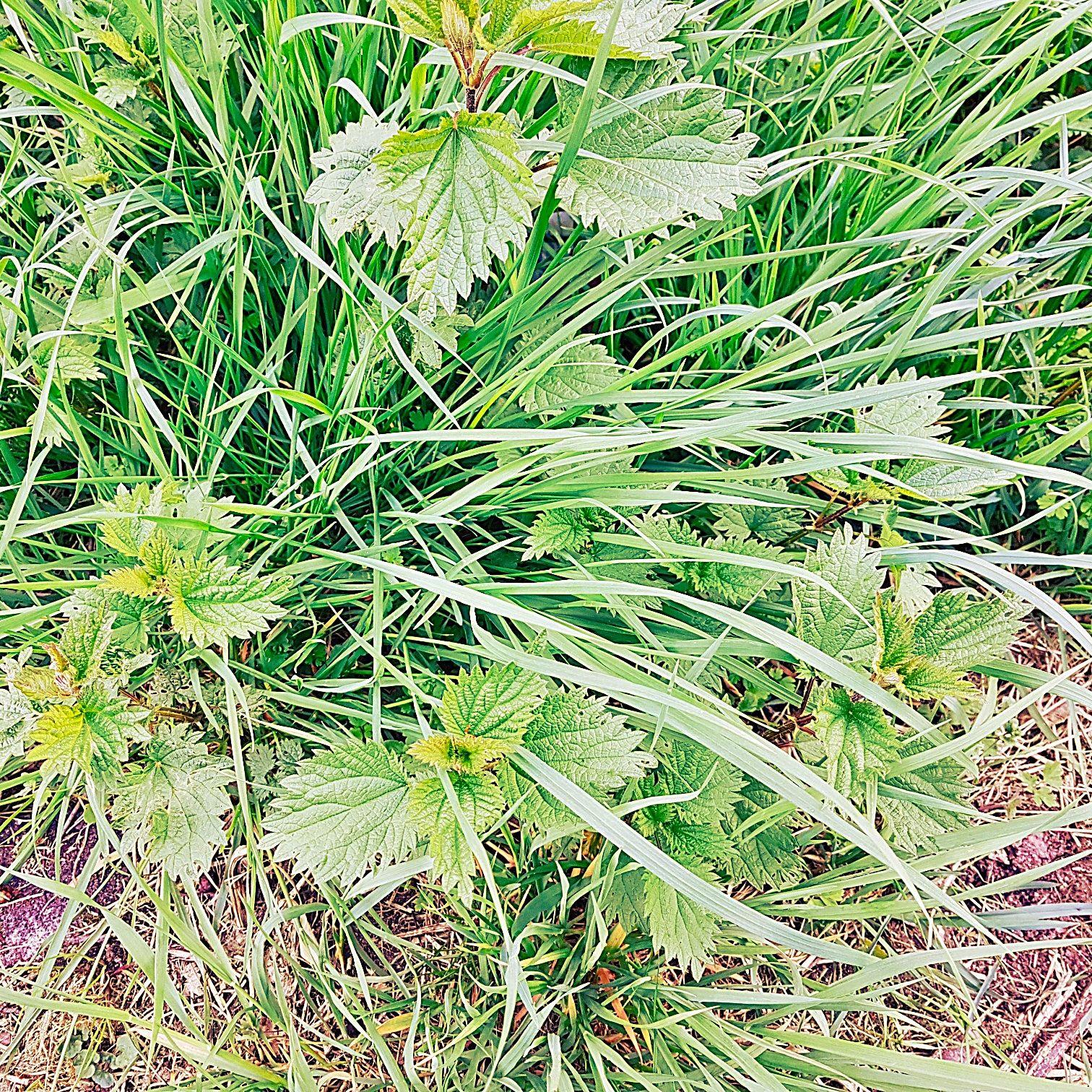 Die Brennnessel als Heilpflanze