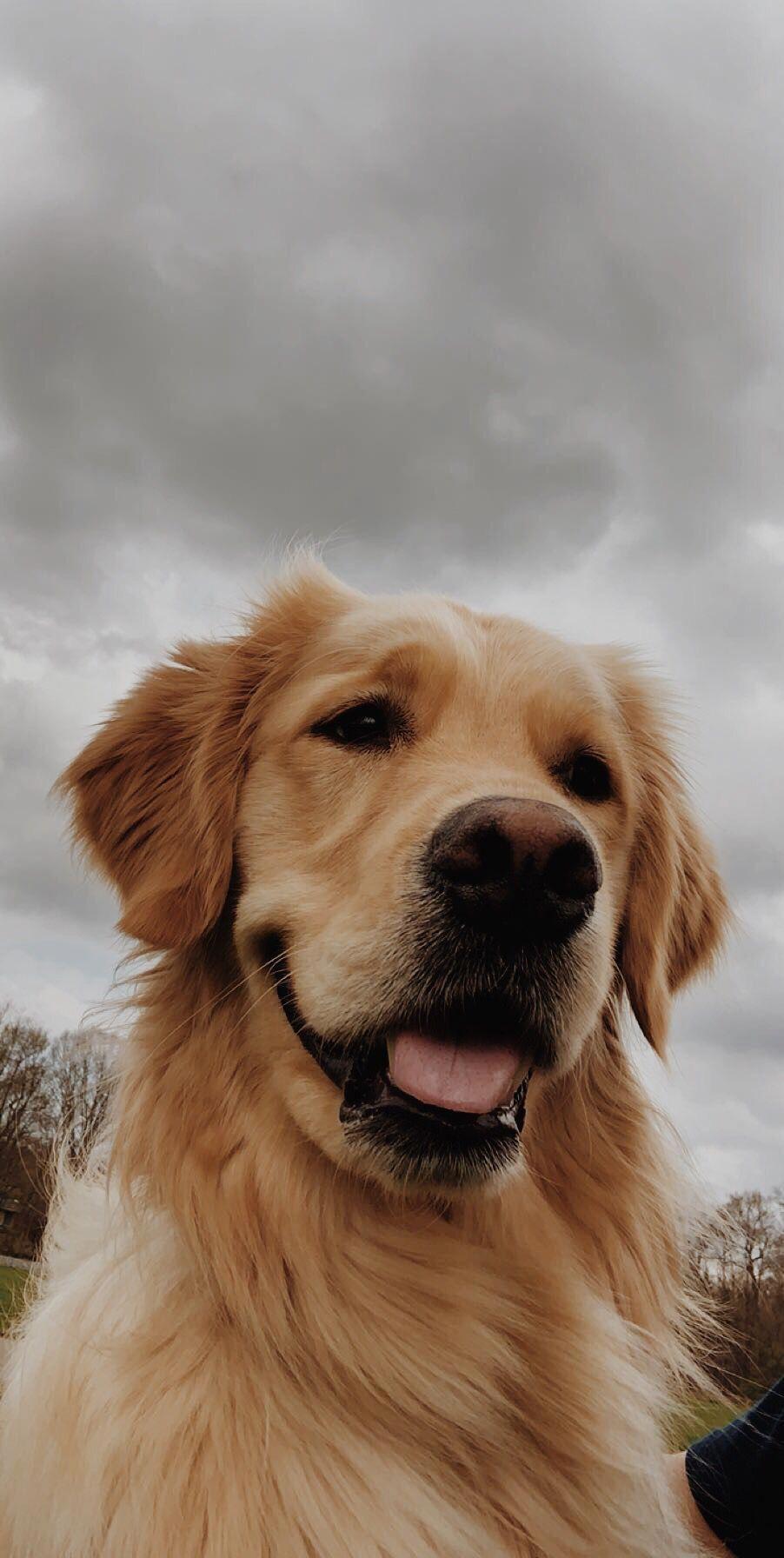 Golden Retriever Noble Loyal Companions Cute Dog Wallpaper