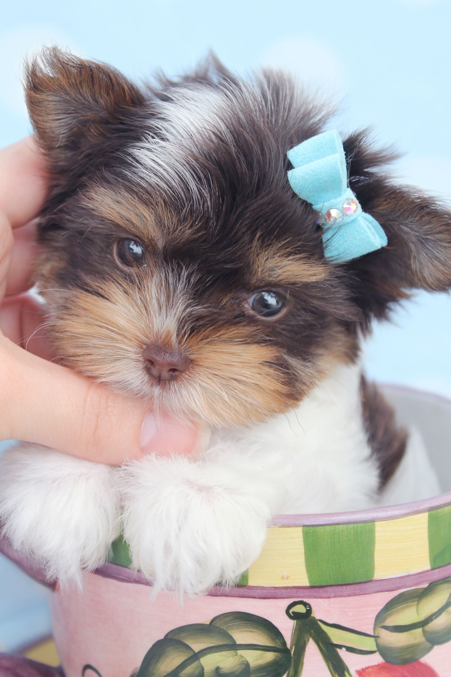 Biro Yorkie Puppies For Sale at TeaCups Puppies Yorkie