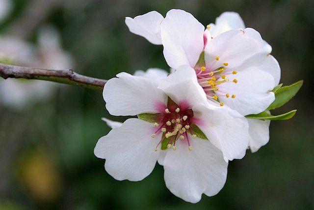 Almond Blossoms In Spain Almond Blossom Almond Flower Blossom