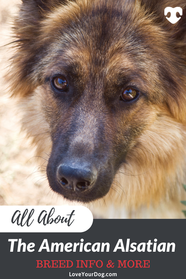 American Alsatian Dog Breed Info Temperament Puppy Prices More