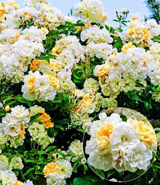 Rambler-Rose \u0027Christine Helene\u0027 Rosen Pinterest Flowers and