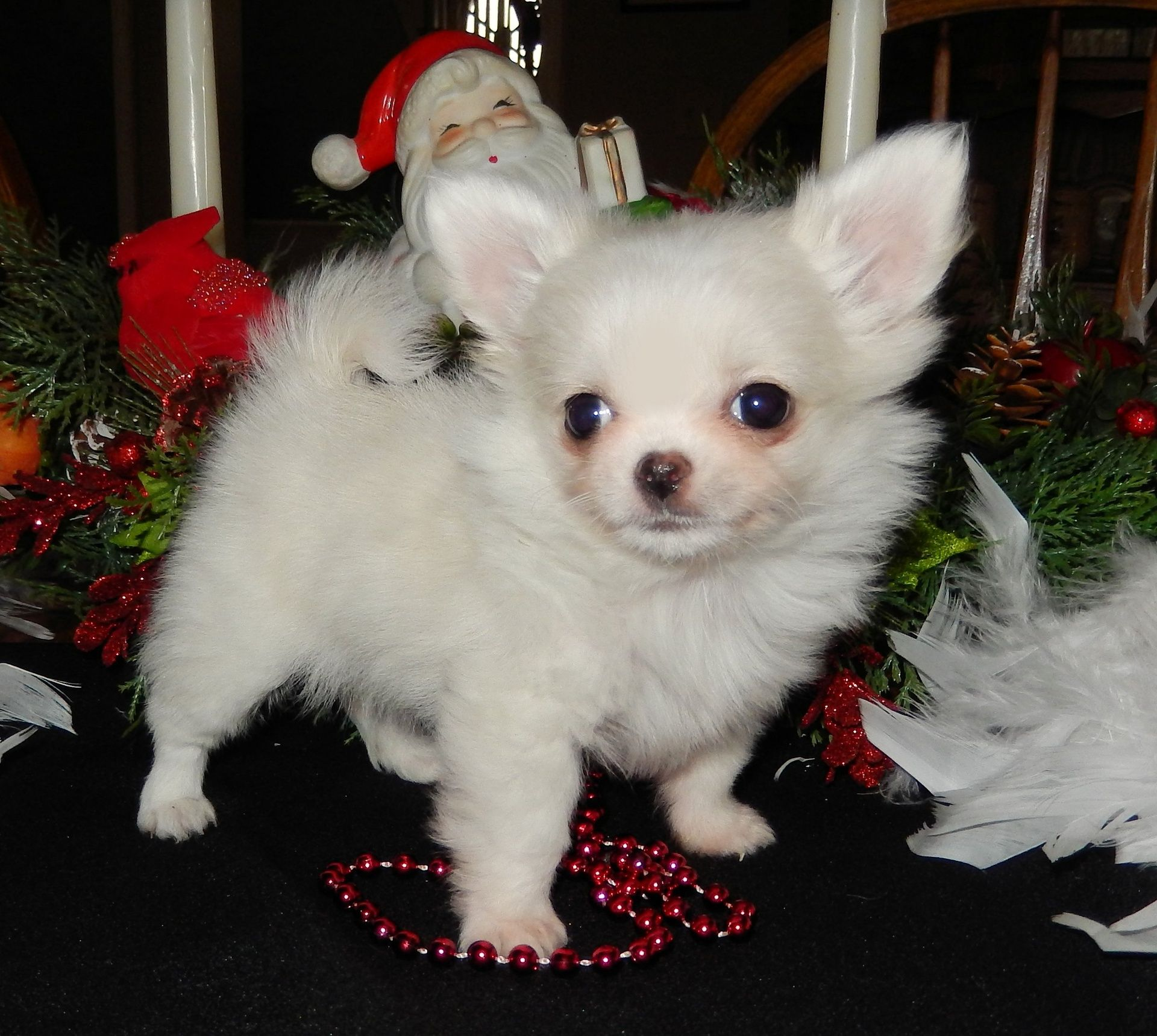 Shichon puppies for sale in indiana - Chihuahua Puppies For Sale North Indiana Chicago Illinois