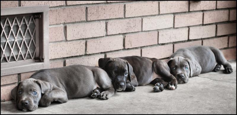 Cane Corso Puppies Dog Italian Mastiff Canine Cute Corsos