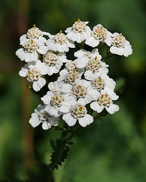 Garden Answers Plant Identification Achillea Millefolium 15 Flowers Achillea