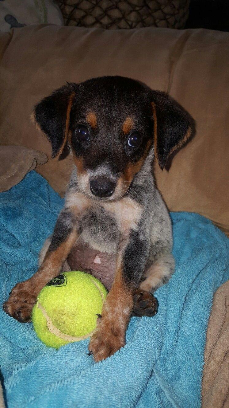 Jake Our Little Blue Heeler Beagle Cross Hybrid Such A Great