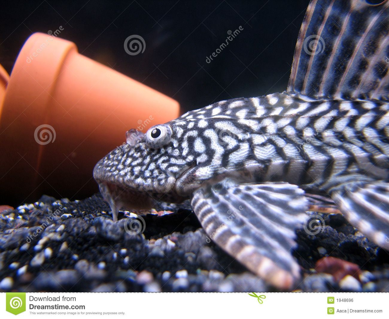 Snow King Pleco Stock Images Free Stock Images Image