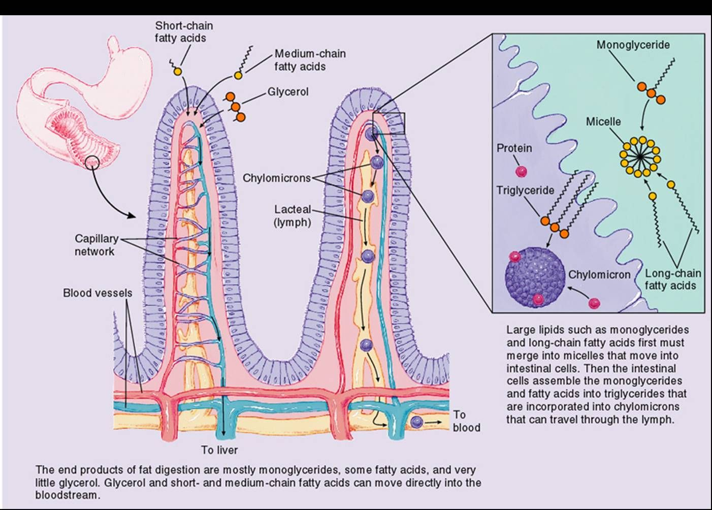 Nutrient Absorption | Guts & Glory: Gastrointestinal | Pinterest ...