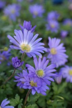 For The Shade Garden Radiant Anemone Blue Anemone Blanda Is A Pretty Spring Bloomer In The Garden They Fall To This Low Flowering Time Schattengarten Schattenpflanzen Garten Pflanzen Schatten