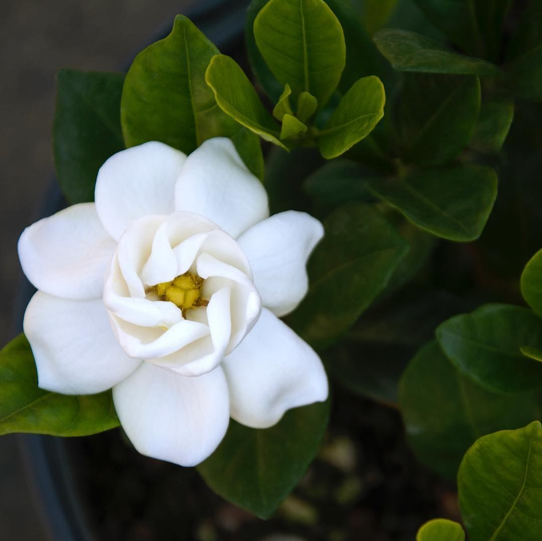Artificial Gardenia Flowers Outdoor With Images Artificial