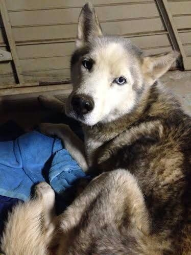 Founddog 2 12 15 Greenville Sc Siberianhusky 864 630 5495 Https