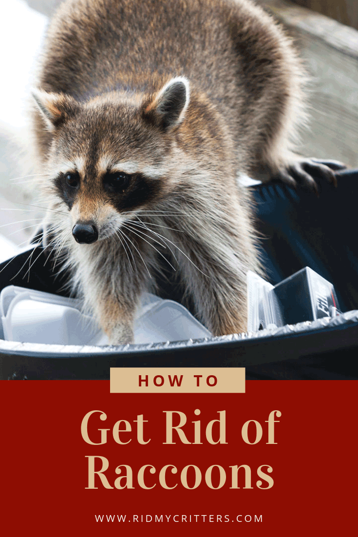 How To Get Rid Of Raccoons From The Yard Attic Or Under The House Getting Rid Of Raccoons Raccoon Pet Raccoon