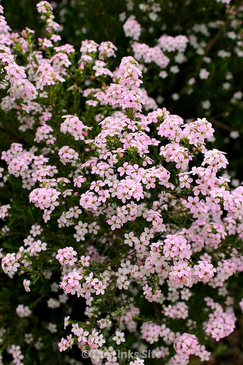 Diosmas provide a gorgeous display of small white or pink flowers in diosmas provide a gorgeous display of small white or pink flowers in spring they are a very hardy plant that will provide a stunning feature in any garden mightylinksfo