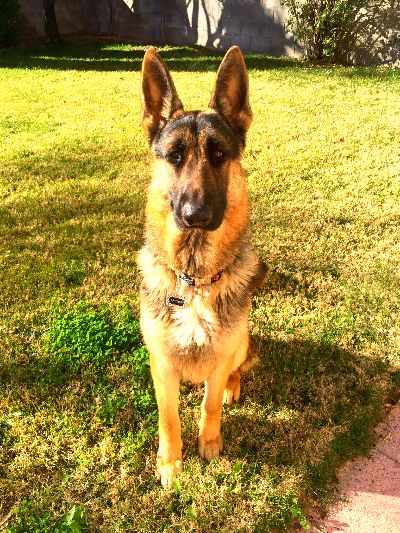 Grouchy Puppy March 2015 Newsletter Puppies German Shepherd Rescue German Shepherd
