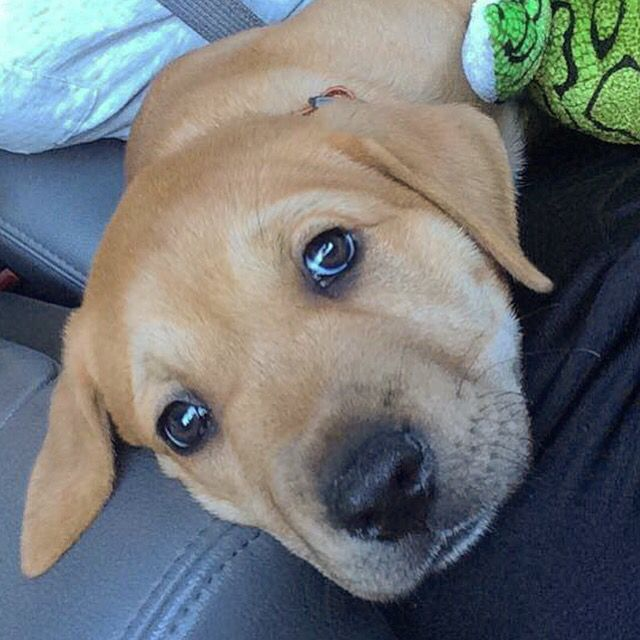 Pitbull Golden Retriever Mix 7 Weeks Old