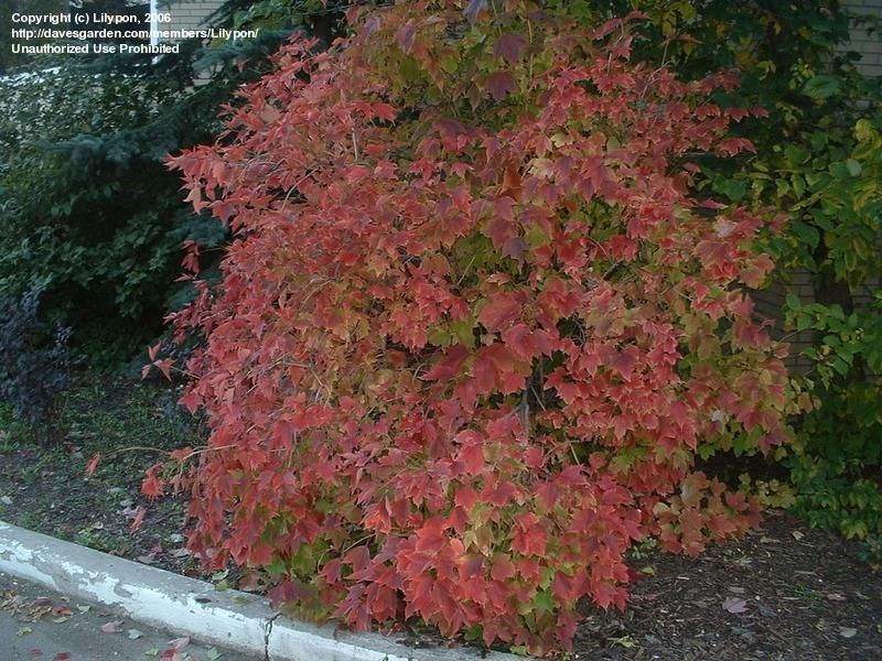 Full Size Picture Of American Cranberry Bush Tree