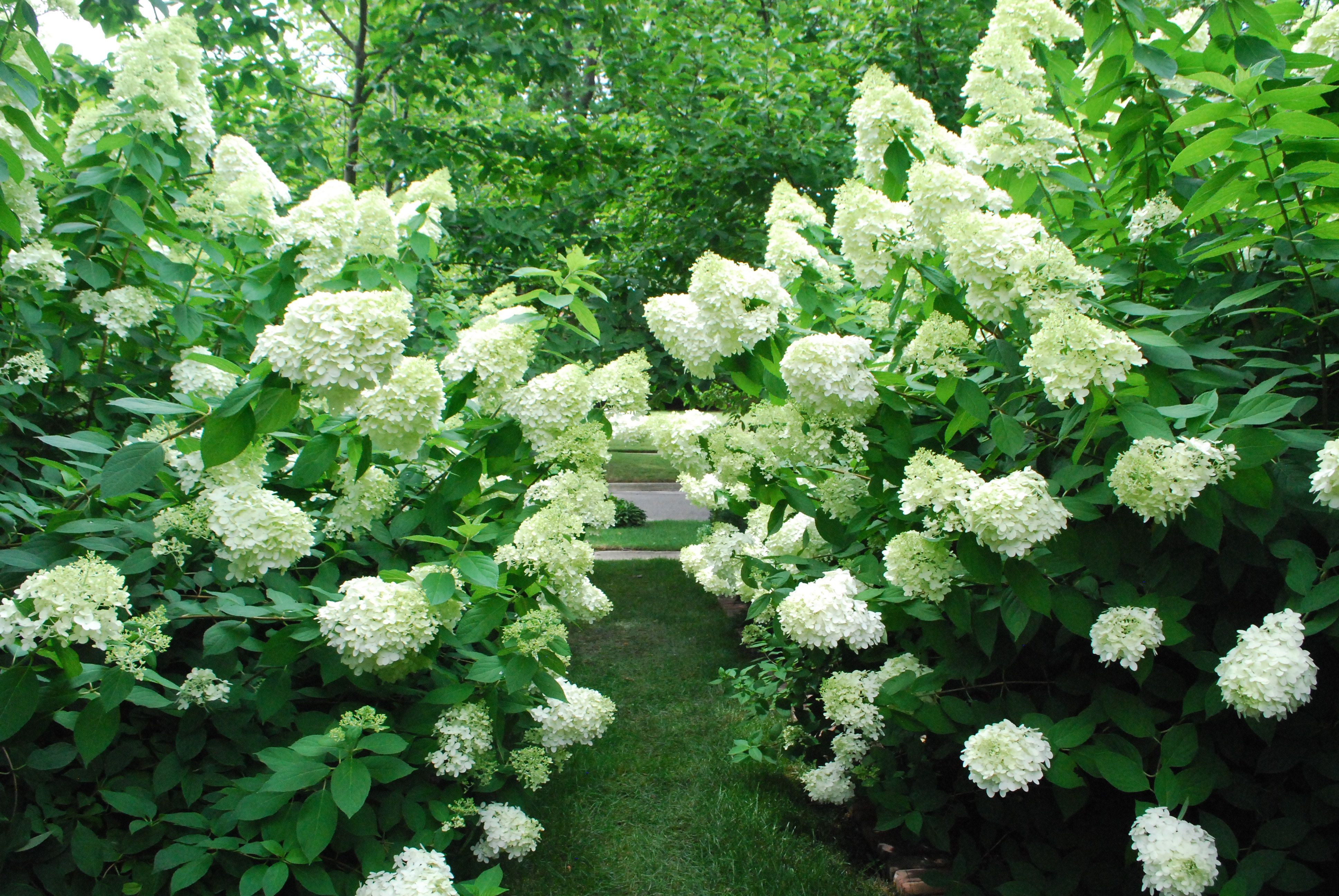 Time For The Limelights Dirt Simple Limelight Hydrangea Annabelle Hydrangea Pruning Hydrangeas