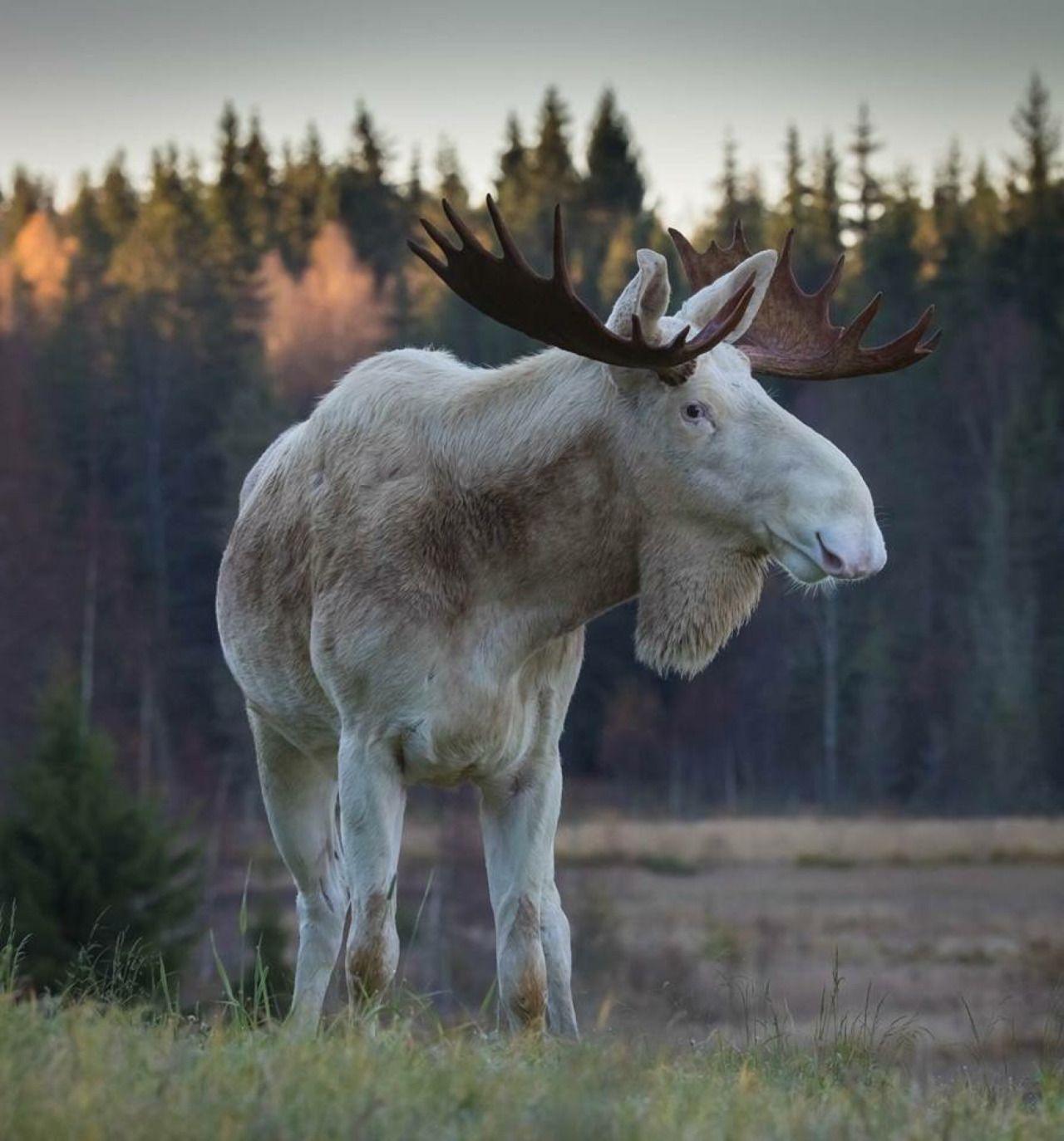 hammerovthor Moose from Värmland, Sweden (With images