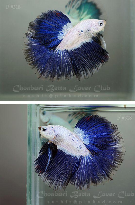 Blue marble   Fancy bettas   Betta, Betta fish, Fish