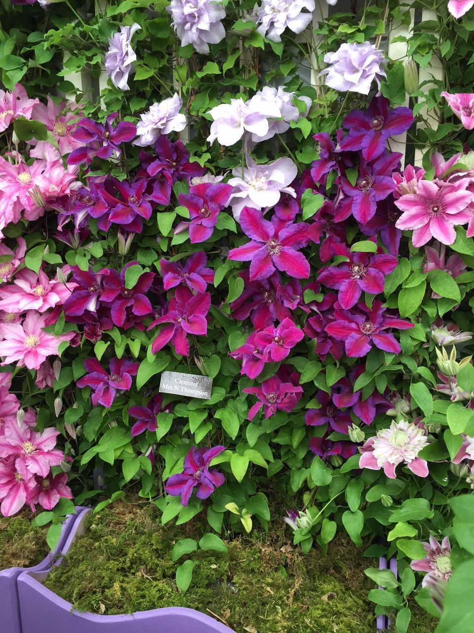 Amazing clematis plants: cuttings and care of seedlings