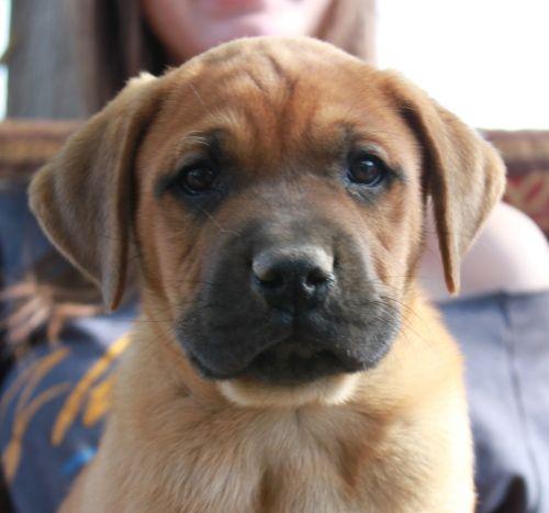 Adopt Boomer on (With images) Mastiffs, Mastiff puppies