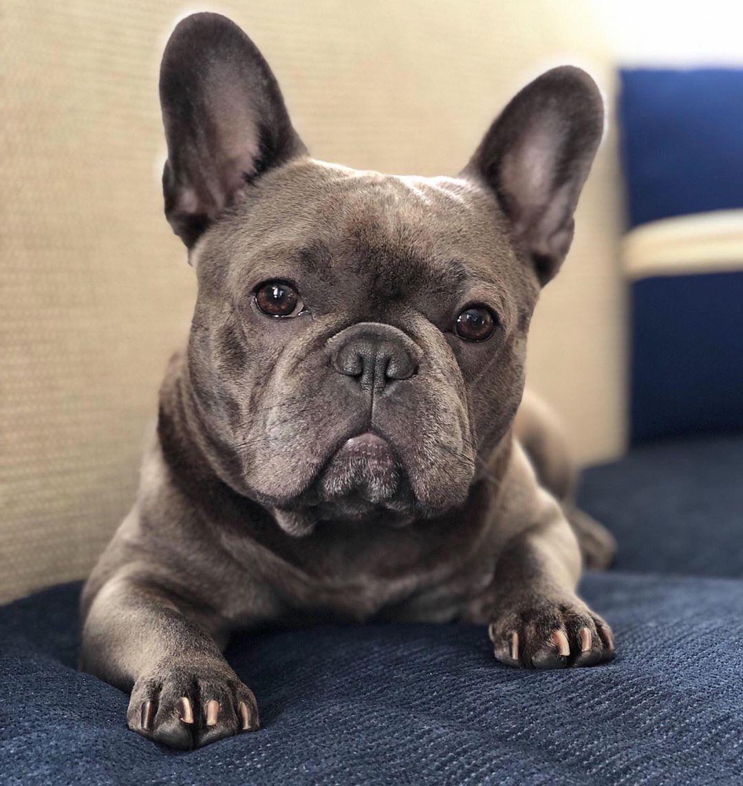 bulldog dogsofinstagram dog frenchie dogs