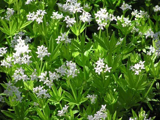 Myskmadra | Krydd- och Medicinalväxter | Galium odoratum |