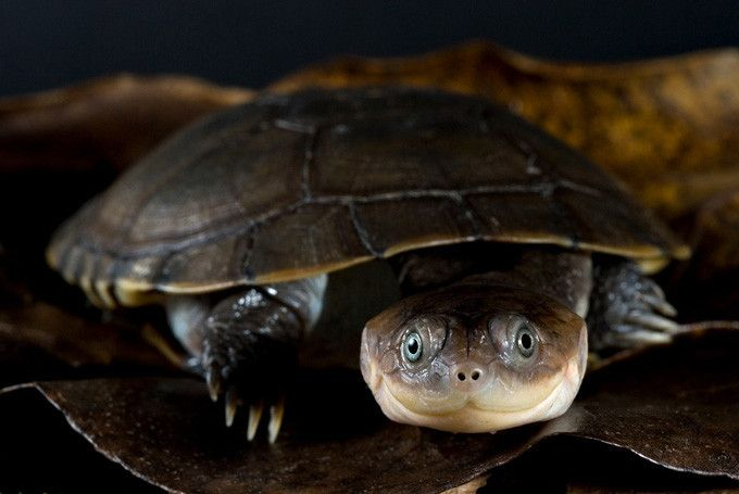African Sideneck Turtle Jungle Bob S Reptile World Pet Turtle Turtle Tortoise Turtle