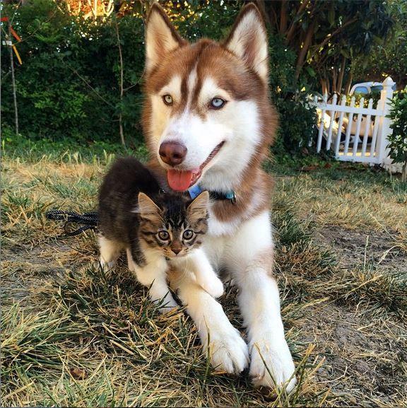 Découvrez ce chaton persuadé... d'être un Husky ! Les photos vont vous faire craquer !