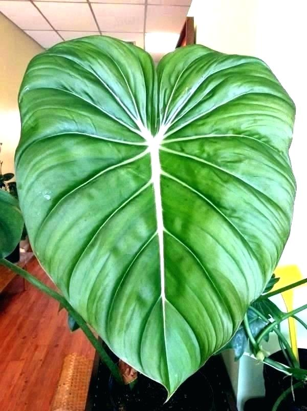 Tropische Zimmerpflanzen Grosse Tropische Zimmerpflanzen Grosse Blattpflanze Florals Beautifulhouseplants Tropical House Plants Big Leaf Plants Plants