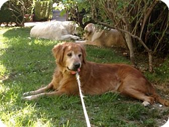 Los Angeles Ca Golden Retriever Meet Izzabella A Dog For