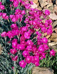 Vuorineilikka Pink Jewel - Viherpeukalot