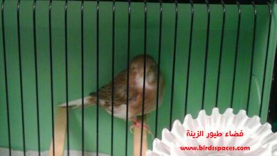 كناري الجلوستر Animals Parrot Canary