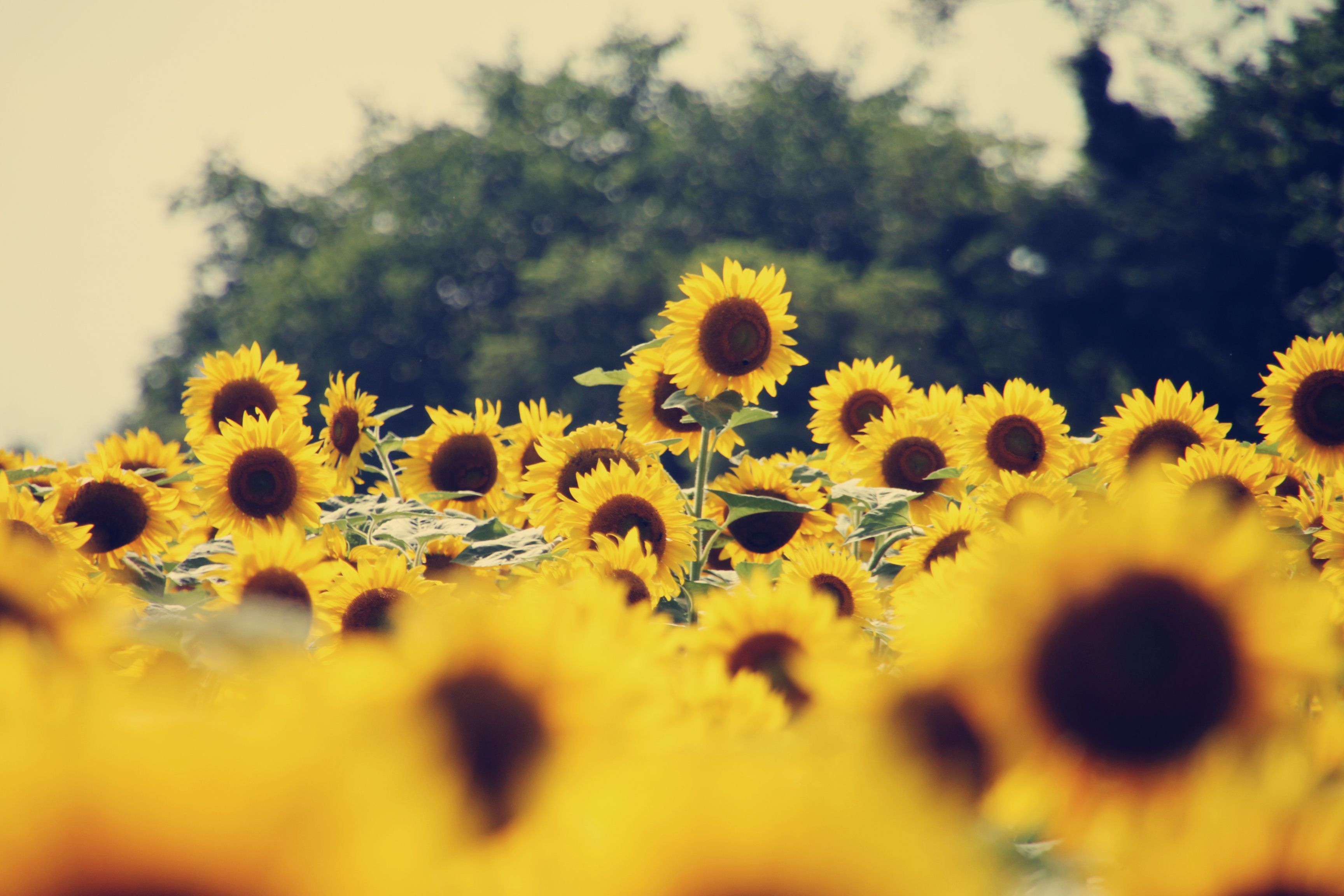 Sunflower Tumblr Wallpaper Photo With High Definition Wallpaper 3456x2304 Px 510 38 Kb Sunflower Wallpaper Sunflowers Background Sunflower Images