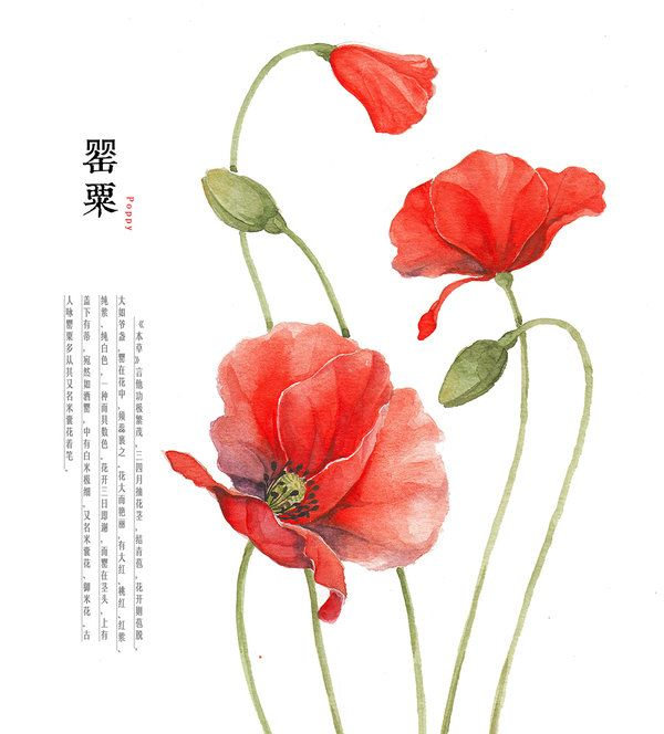Hand drawing watercolor plants poppy by galoshiningiantart hand drawing watercolor plants poppy by galoshiningiantart on deviantart mightylinksfo